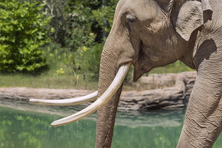 Billy the elephant at the L.A. Zoo