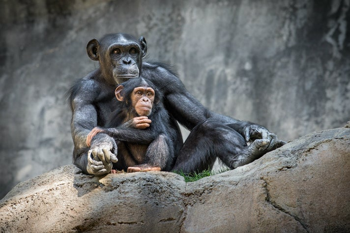 """Gracie and Kima, """"Chimpanzees of the Mahale Mountains"""" at the L.A. Zoo"""