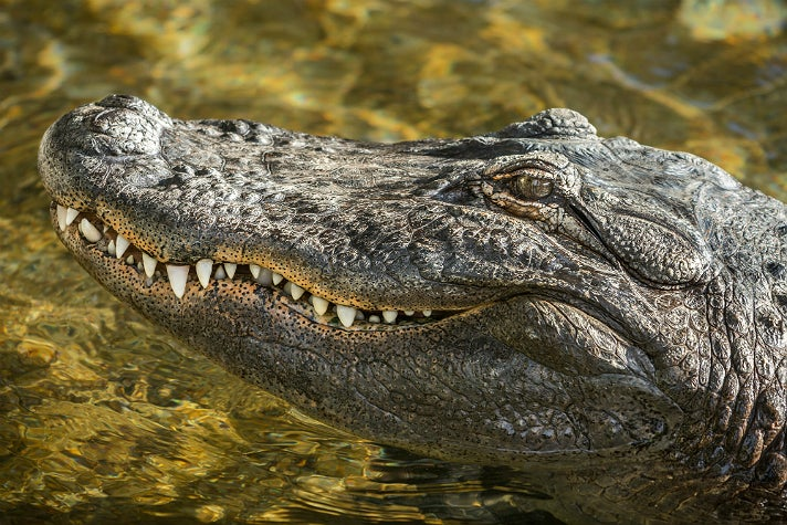 Reggie the alligator at the L.A. Zoo